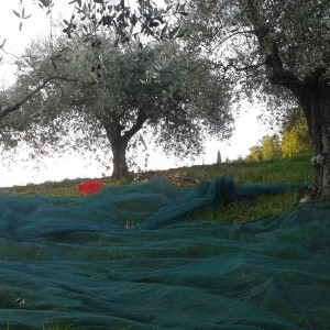 adopt paoletti picking olives