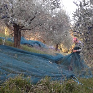 picking Paoletti Adopt Olive tree