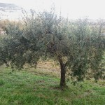 Paoletti adopt an olive tree