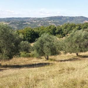 Villa Antria adopt an olive tree