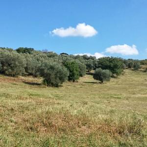 Villa-Antria-Olive-tree-adoption-(1)