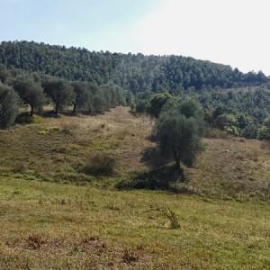 Villa-Antria-Olive-tree-adoption-(2)