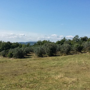 Villa-Antria-Olive-tree-adoption-(3)