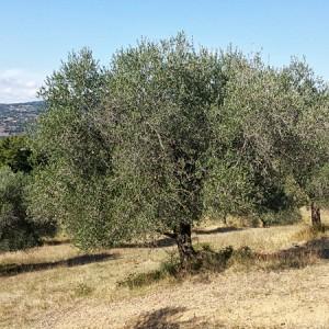 Villa-Antria-Olive-tree-adoption-(5)