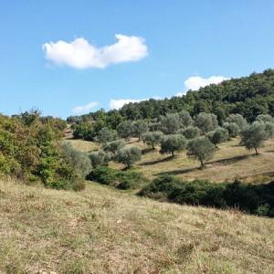 Villa-Antria-Olive-tree-adoption-(7)