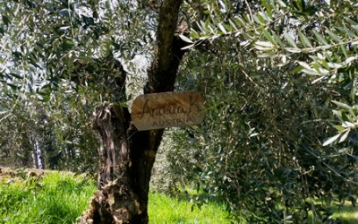 Olive tree adoption