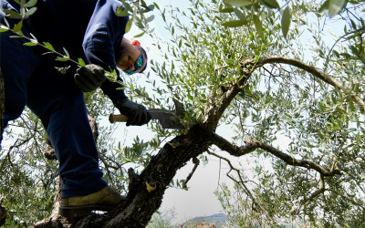climbing-on-the-olive-trees