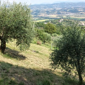 cresta-verde-olive-tree-adoption-(2)