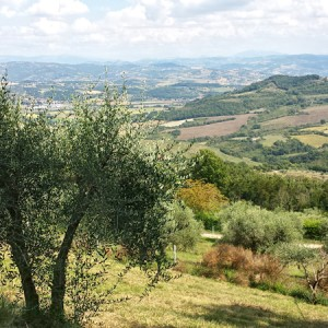 cresta-verde-olive-tree-adoption-(3)