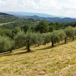 cresta-verde-olive-tree-adoption-(7)
