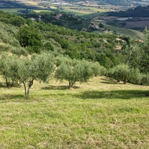 cresta-verde-olive-tree-adoption-(8)