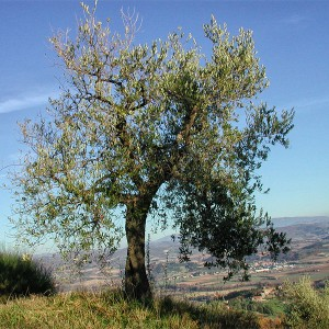 cresta-verde-olive-tree-adoption-(9)