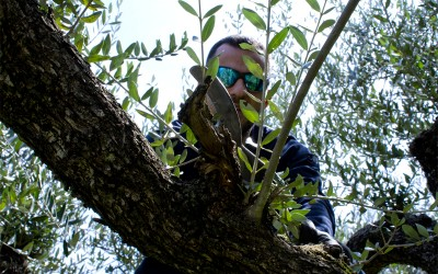 man-pruning-olive-tree