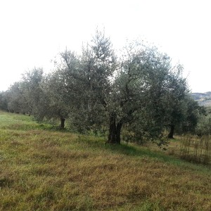 paoletti-olive-tree-adoption-(4)