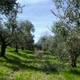 paoletti-pruning-olive-tree