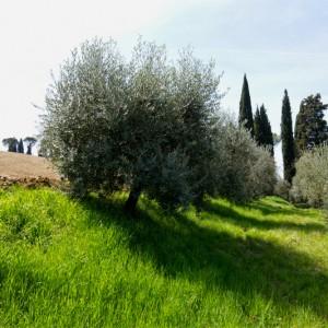 springtime-adopt-olive-tree